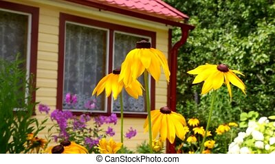 yellow flowers of Echinacea waving, with the house on the background