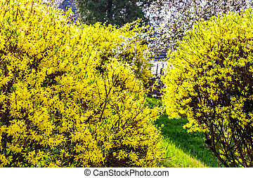 yellow flowers of forsythia shrub. lovely nature background...