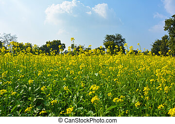 Yellow flowers of mustard field with blue sky and clouds sky