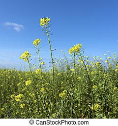 yellow flowers of mustard seed in field