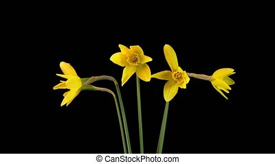 Yellow Flowers of Narcissus blossom - Narcissus flower...