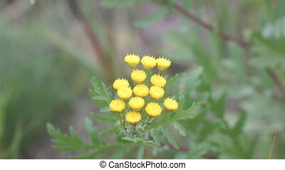 Yellow flowers of wild tansy in the wind