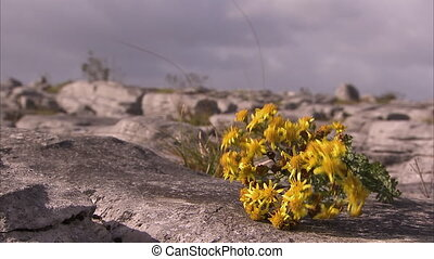 Yellow flowers on a rocky surface