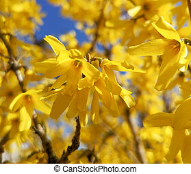 Yellow flowers on a tree in spring