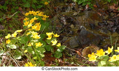 Yellow flowers on stream shores - Yellow flowers on the...
