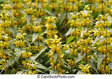 Yellow Flowers on Variegated Yellow Archangel (Lamium...