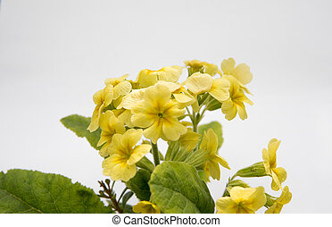yellow flowers over white background