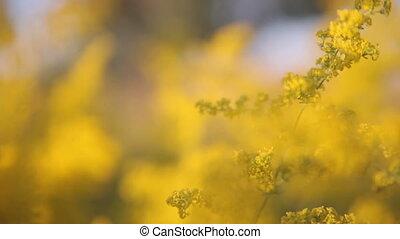 Yellow flowers in the meadow. Macro