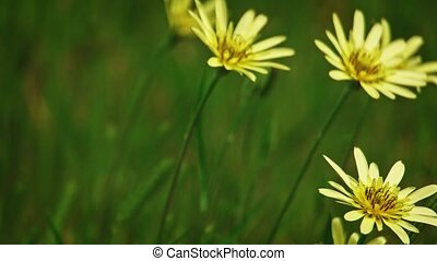 Yellow flowers sway on wind in slow motion - Wild Yellow...