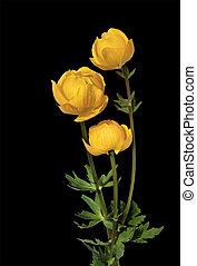 Trollius europaeus - Yellow flowers Trollius europaeus ...