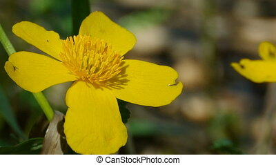 Marsh Marigold Flower - yellow flowers with stamens, Marsh ...