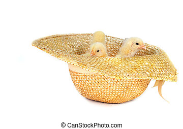 yellow fluffy chickens - cute fluffy chickens in straw hat...