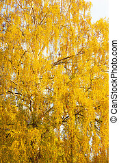 Yellow foliage birch autumn