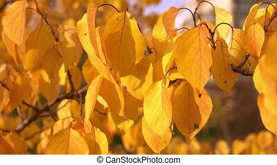 yellow foliage in autumn