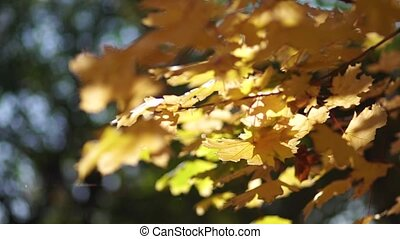 Yellow foliage in the park on maple trees.
