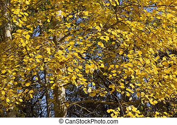 Yellow foliage of European aspen.