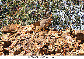 yellow-footed, rock-wallaby