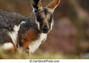 yellow-footed, rock-wallaby, canguro