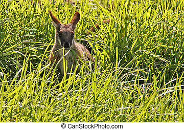 yellow-footed, rock-wallaby, in, lang, groen gras