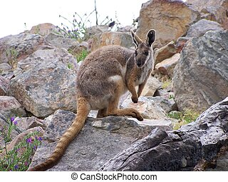 wallaby - yellow footed rock wallaby