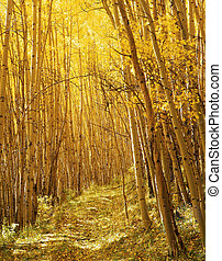 A trail through a stand of aspen trees in the Uncompahgre National Forest, Colorado, photographed during the autumn season.