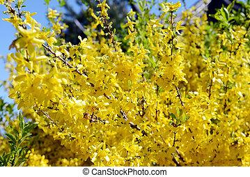 yellow forsythia bush blossom