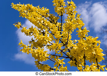 yellow forsythia bush with blossoms in spring