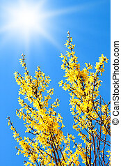 Yellow forsythia flower and blue spring sky.