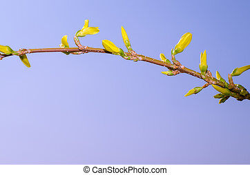 yellow forsythia flower colorful image