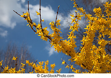 Yellow Forsythia in front of a blue sky