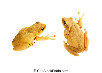 Yellow frogs on white background