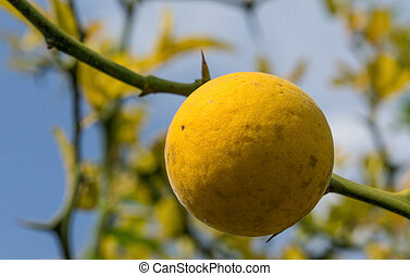 Yellow fruit Poncirus on the background of thorny branches and sky.