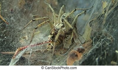 Yellow funnel web spider and a locust - A funnel web spider...