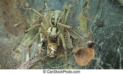 Yellow funnel web spider eating a fresh locust - A funnel...