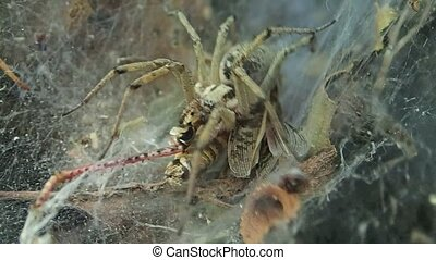 Yellow funnel web spider starting to eat a locust - A funnel...