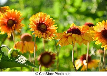 Yellow garden flowers in flowerbed