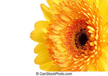 yellow gerber angled