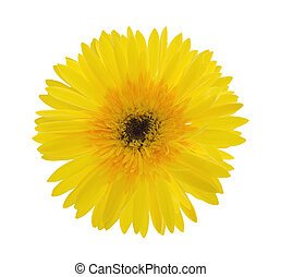 Yellow Gerber Daisy on white background