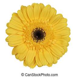 yellow gerber daisy - Yellow gerber daisy on white...