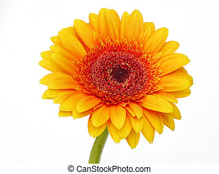 yellow Gerber flowers, daisies isolated on white