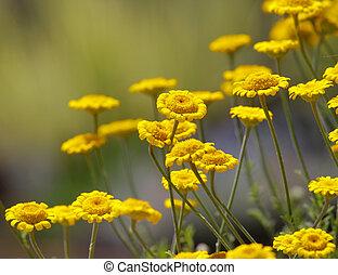Yellow Gerber flowers