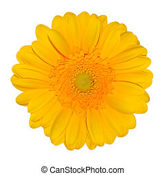 Yellow Gerbera Daisy Flower Isolated on White