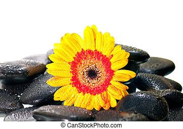 Yellow gerbera flower on black zen stone close up