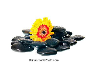 Yellow gerbera flower on black zen stone