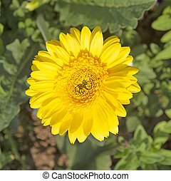 Yellow gerbera flowers on a green background