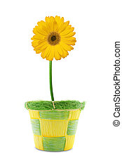 yellow gerbera in a pot