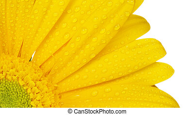 yellow gerbera with dew droplets isolated on white