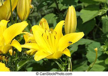 (yellow), giglio, giorno