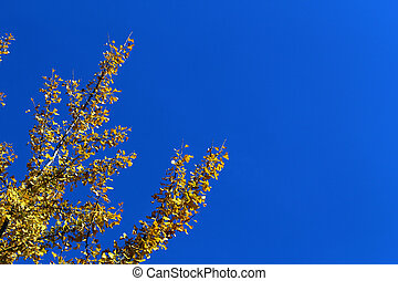 Yellow ginkgo biloba tree leaves on branches in autumn against blue sky