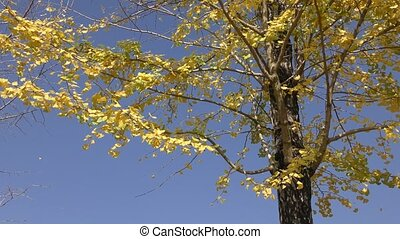 Yellow ginko leaves
